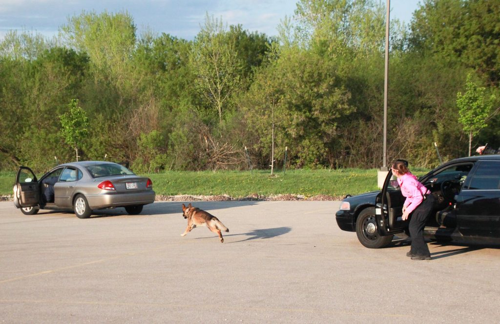 K9 Falko runs toward a subject during a training exercise